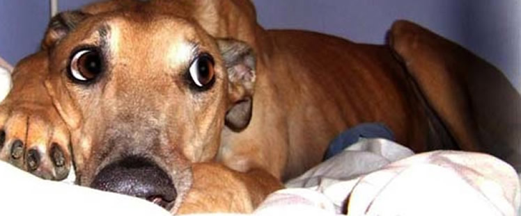 Greyhound Pets Of America Nashville Store